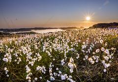 Lighting up the cottongrass (huddart_martin) Tags: flowers light sunset sea plants seascape grass norway landscape islands coast sony wideangle cotton coastline marsh marshland cottongrass sotra sonya77 angeltveit