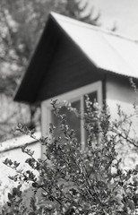 A bush against the background of a house (Andrew Sigurow) Tags: trees houses windows roof bw house tree film window nature outside outdoors countryside spring village russia grain villages roofs analogue ru yashica aprelevka moskovskayaoblast