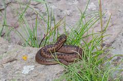 Baby Adder - Viper berus (Matchman Devon) Tags: baby viper adder berus
