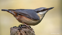 Nuthatch (neil.rolph) Tags: up nuthatchperchedposteast angliawoodlandclose
