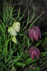 DSC_5267 (2) (rolfjanove) Tags: flowers nature garden nikon sweden tamron 28300mm d700 rolfjanove