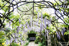 31st May - What I saw today (sminchin1977) Tags: wisteria whatisawtoday waterperrygardens mayphotoadaychallenge fmsphotoaday