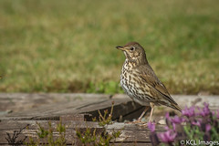 The Song Thrush (KCL Images) Tags: garden scotland fife songthrush