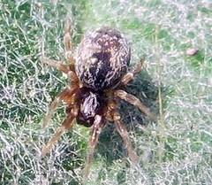 IMG_1818a tiny spider on leaf - Dictynidae, probably Lathys sp. (John Steedman) Tags: uk greatbritain england london unitedkingdom spinne araa camberwell se5 araigne grossbritannien   ruskinpark   grandebretagne dictynidae     lathys