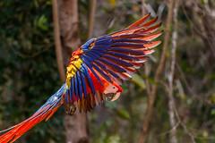 Honduras-038 (s4rgon) Tags: ara birds copan honduras mayaruins pagagei parrot ruine vogel copánruinas copán hn