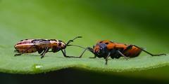 DSCF7121 (faki_) Tags: insect fuji fujifilm 24 60 250 dcr rovar xe1 raynoxdcr250 fujinonxf60mmf24rmacro