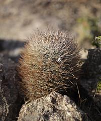 Neoporteria coimasensis (Umadeave) Tags: chile cactus montagne plante flora chili desert flore eriosyce senilis neoporteria coimasensis lascoimas
