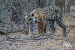 Stalking Tiger (fascinationwildlife) Tags: park wild summer india nature animal female forest cat mammal big asia wildlife tiger natur national heat predator indien hunt prowl ranthambhore