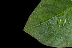 walnut leaf [eXplored 15.05.2016] (Cocodix) Tags: black macro green nature water leaves canon drops background monday pure waterdroplets efs60mm cocolino cocodix