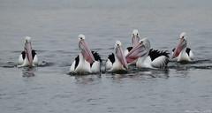 Beautiful pelicans during breeding season (Merrillie) Tags: sea nature water animals fauna bay nikon scenery waterfront wildlife australia pelican views nsw brisbanewater woywoy d5500 nswcentralcoast centralcoastnsw