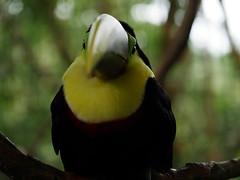 P1130568 (lychee_vanilla) Tags: bird animal garden toucan costarica lapaz tier waterfallgarden tucn blackmandibledtoucan ramphastosambiguus vigel quioro tucnpiconegro