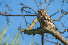"Mochuelo comun ""Athene noctua"" (alimoche67) Tags: espaa fauna sony aves alpha catalua slt lleida rapaces rapaznocturna translucentmirror josejurado"