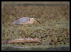 Catfish Popper... (DTT67) Tags: nature birds animals canon wildlife maryland blueheron greatblueheron nationalgeographic gbh northpointstatepark 14xiii 500mmii 1dxmkii
