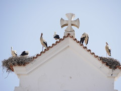Seis cegonhas (cyclingshepherd) Tags: family bird portugal church birds june cross nest seis algarve six stork storks cegonha olhao olho cegonhas nests 2016 igrejamatriz cyclingshepherd
