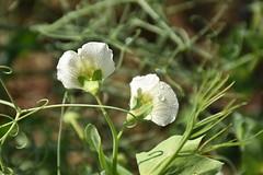 Pisum sativum (esta_ahi) Tags: españa drops spain flora plantas gotas fabaceae lleida guisante segarra leguminosae lérida lasegarra pisum sativum pisumsativum испания forrajero cultivadas palouet forrajeras
