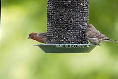 IMG_4603eFB (Kiwibrit - *Michelle*) Tags: tree grass birds woodpecker squirrel maine feeder chipmunk monmouth 2016 061916