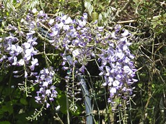 1405 Wisteria pendent racemes (Andy panomaniacanonymous) Tags: 20160527 fff flowers gardenflower ggg mauve mmm pendentraceme ppp rrr wisteria www