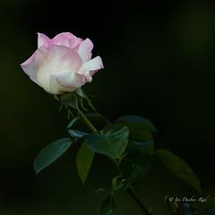 White bud edged with pink (idunbarreid) Tags: roses doublefantasy