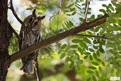 Long-eared owl, Waldohreule, Asio otus @ Israel, 2016 urban nature (Jan Rillich) Tags: park urban sun nature beautiful beauty animal june fauna digital canon photography eos israel photo telaviv spring flora foto fotografie image jan wildlife picture free sunny urbannature owl canon5d guest longearedowl 2016 animalphotography hayarkon asiootus waldohreule nahalhayarkon 5dmarkiii janrillich rillich
