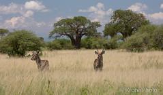 Antelopes and baobab trees (KronaPhoto) Tags: safari tarangire national park africa tanzania animal baobab tre tree dyr antilope antelope wildlife natur nature landscape landskap