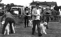 Winner Reactions (Cazadora de Fotos) Tags: white black blanco dogs golden negro retriever winner competicion medina perros mascotas exposicion canina pomar ganador concursos