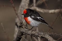 Red-capped Robin 2016-06-13 (60D_1552) (ajhaysom) Tags: redcappedrobin petroicagoodenovii woodlandshistoricpark greenvale melbourne australia australianbirds canoneos60d sigma150600