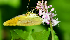 Sulphur butterfly on pigeon berry (justkim1106) Tags: macro nature yellow butterfly insect bokeh wildflower sulfurbutterfly pigeonberry beyondbokeh