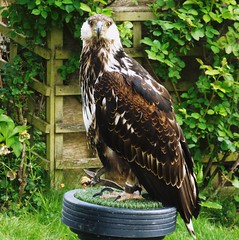 African Fish Eagle (Tricia in Kent UK ....) Tags: kent tunbridgewells maleficent africanfisheagle groombridgeplace maleficentafricanfisheagle