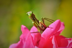 Mantis religiosa (~ Jessy Simon ~) Tags: pink portrait flower macro green colors face rose bug mantis insect nikon bokeh colorfull insects bugs micro nikkor insecte 105mm d5000
