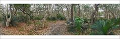 Murramarang National Park (caralan393) Tags: trees phone pano twisted durras