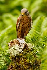 Bird With Prey (zarlock81) Tags: birds scotland wildlife falcon balloch lochlomond kestrel schottland falcotinnunculus commonkestrel turmfalke vereinigtesknigreich