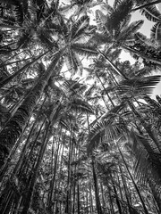 Palm Trees, Hawaii (t conway) Tags: