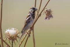 Gorrin comn macho (Passer domesticus) (jsnchezyage) Tags: naturaleza bird fauna birding ave passerdomesticus pjaro gorrincomn