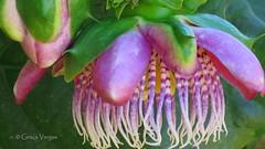Passion flower ( Graa Vargas ) Tags: passionflower flordemaracuj passifloracaerulea graavargas2016allrightsreserved flower pink passiflora duetos 16006270716 graavargas