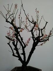 Beijing Botanic Gardens /  (caitriana) Tags: plum blossom bonsai     beijing botanicgardens