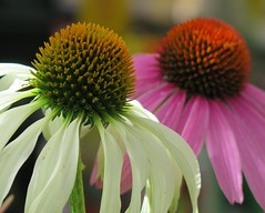 Two heads are better than one ... ( Bo ) Tags: echinacea flower plant garden outdoor backyard nature yard canong16 powershot macro bokeh petal pair twosome couple colourful pink white yellow colour brown england britain uk europe european duo green floralphotography coneflower