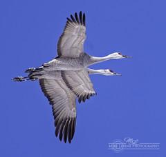 DSC_9601 (mikeyasp) Tags: birds avian nature outdoors nebraska sandhillcranes gruscanadensis cranes inflight