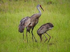 P5158858 (Ken Whittle) Tags: florida crane cranes sandhillcranes