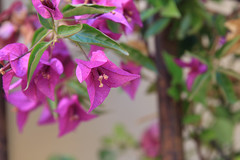 IMG_5248 (echoey13) Tags: flowers france flower tree leave leaves yellow canon dof purple bougainvillea trunk provence cassis canon70d