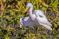 Great Egret IMG_2569 (ronzigler) Tags: great egret bird birdwatcher avian nature sigma 150600mm canon 60d