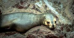Len marino en costa del Per (sebastiansanchezp) Tags: sea lion islas ballestas peru latinoamerica southamerica leon marino