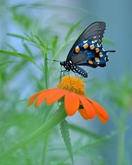 "Pipe_Vine_Butterfly_on_Mexican_Sunflower (thorntm) Tags: flower t16072501 pipevinebutterfly mdtpix nikond800 flickrestrellas vividstriking mexicansunflower gününeniyisi thebestofday ""nikonflickraward"" afc41398x10"