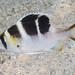 Redfin Bream, juvenile - Monotaxis heterodon