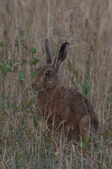 hare (colin 1957) Tags: hare van animal