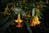 Fairy hats (mysticislandphoto) Tags: flower brugmansia angels trumpet datura garden artistic flowers floral fantasy doublefantasy
