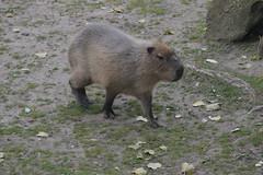 Capybara (CoasterMadMatt) Tags: blackpoolzoo2016 blackpoolzoo zoo zoos englishzoos wildlifepark animal animals wildlife enclosure enclosures capybara capybaras animalpark seasidetown seaside town towns englishtowns britishseaside fyldecoast lancashire lancs northwestengland england britain greatbritain gb unitedkingdom uk september2016 autumn2016 september autumn 2016 coastermadmattphotography coastermadmatt photos photographs nikond3200