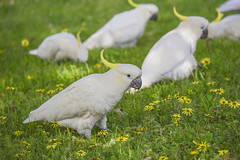 Flower Eating Cockatoos (satochappy) Tags: sulphurcrestedcockatoo depthoffield bird cockatoo parrot australian australia sydney nsw flower yellow capeweed arctothecacalendula park grass vegetarian weeds spring dof