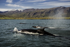 Group of Humpback Whales in North Iceland (oldkentucky85) Tags: mountain mountains sea ocean rocks water brine salty whale humpback pod family mammal huge awesome amazing holiday trip tour iceland island watching boat marine harbour pier remote isolated image nikon hand hald serene peaceful bright digital sky nature blue green light snow clouds summer landscape dalvik d750 50mm giant giants photo photography wildlife animals