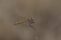 Red-Veined Darter - Sympetrum fonscolombii - Female (murrayN) Tags: cyprus dragonfly odonata sympetrum sympetrumfonscolombii darter redveineddarter souni