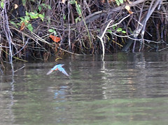 DSC_0788 (H Sinica) Tags: maduganga mangrove kingfisher alcedoatthis